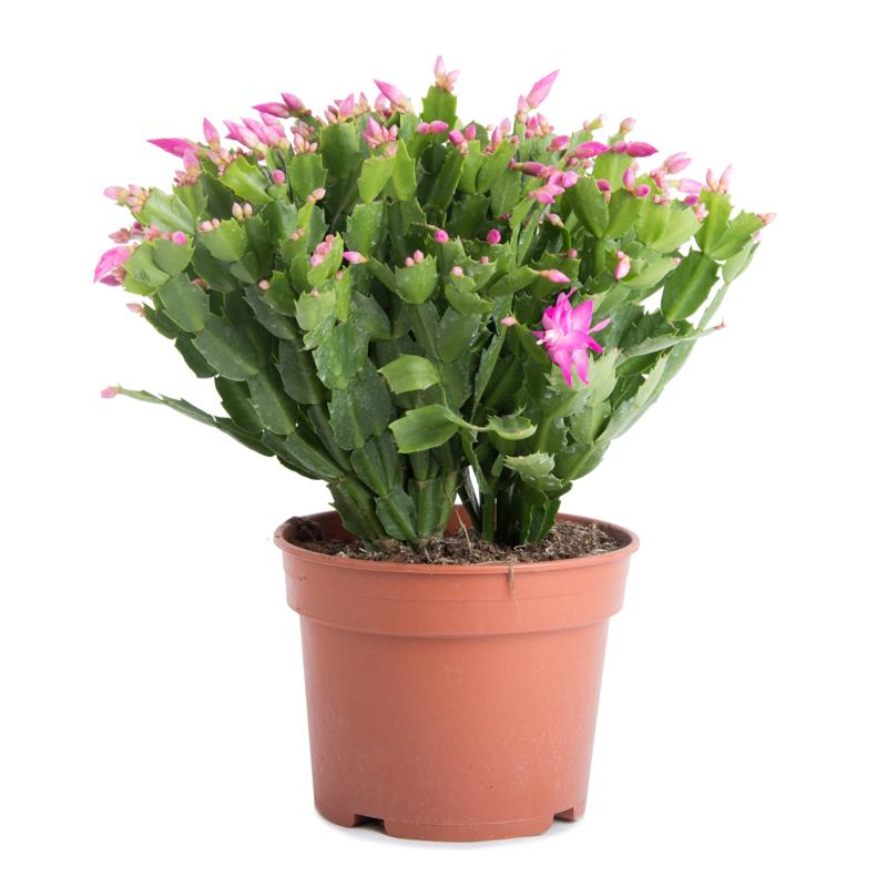 Schlumbergera succulente cactus de noel livraison pas cher