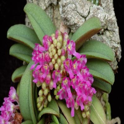 Orchidée Schoenorchis fragrans