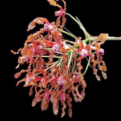 Schomburgkia moyobamba orchidee vente en ligne