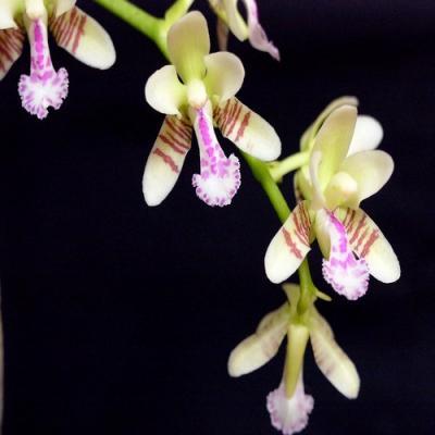 Orchid Sedirea japonica