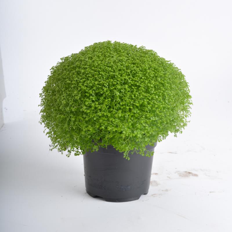 Selaginella apoda a vendre
