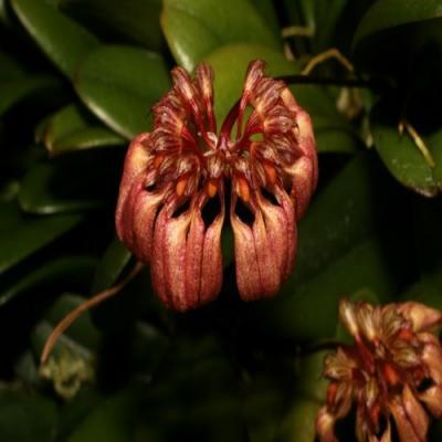Orquídea Bulbophyllum sikkimense
