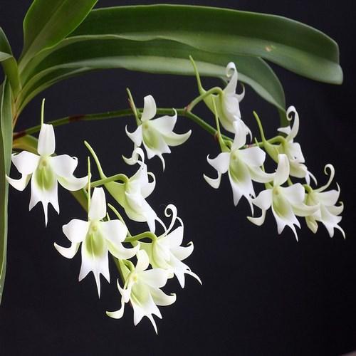 Orhidee Sobennikofia robusta