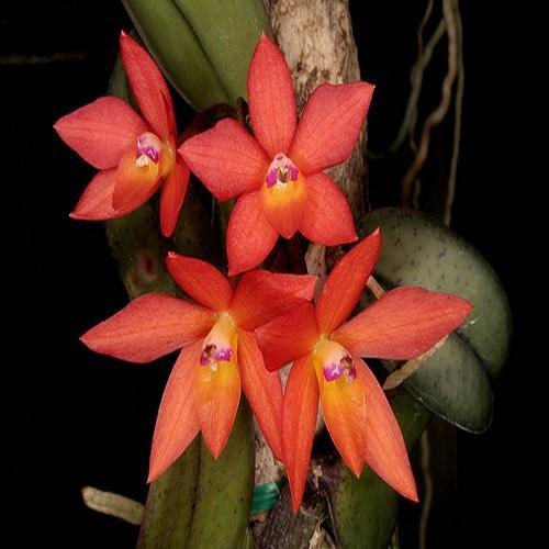 Orhidee Sophronitis cernua