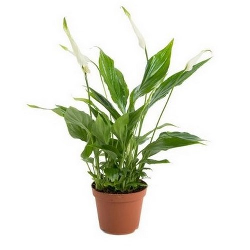 Spathiphyllum wallisii fleur de lune depolluant mini plante