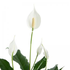 Spathiphyllum wallisii fleur de lune