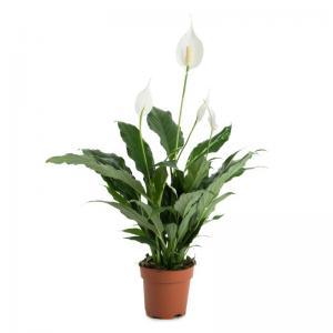 Spathiphyllum wallisii plante purifiante verte livraison pas cher