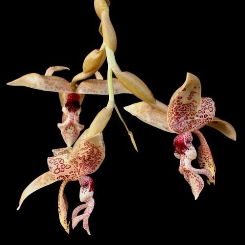 Stanhopea haseloffiana orchidee vente vendre