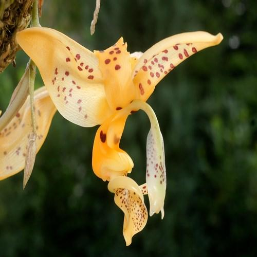 Orquídea Stanhopea jenischiana