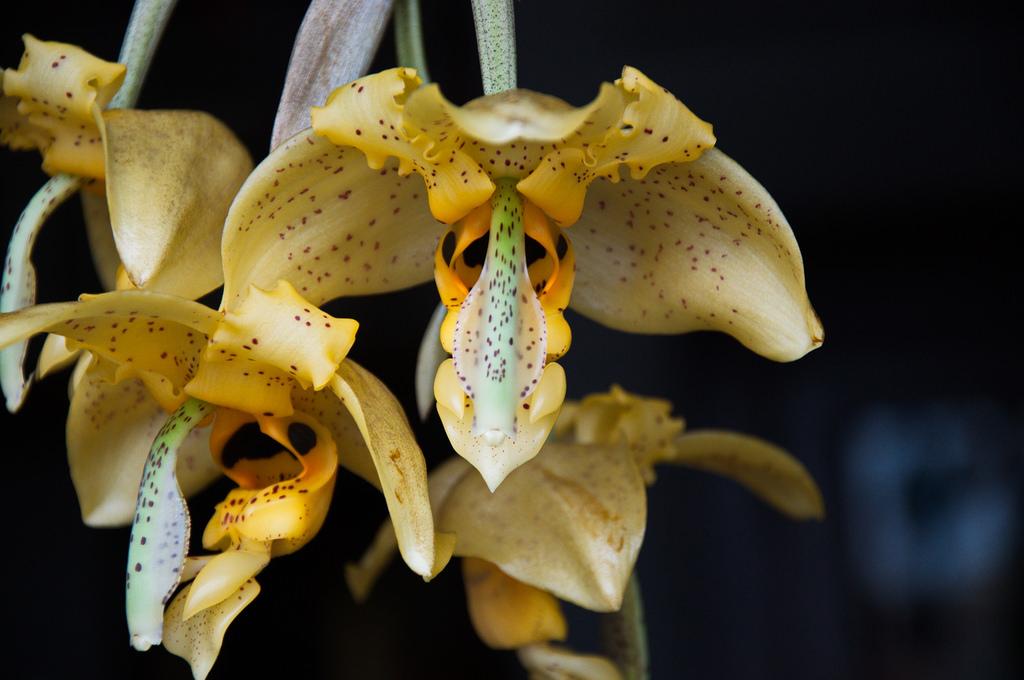 Stanhopea nigripes orchidee