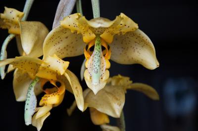 Orchidée Stanhopea nigripes