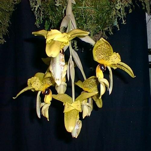 Orquídea Stanhopea wardii