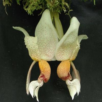 Orchid Stanhopea napoensis