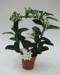 Stephanotis floribunda 'Fleur Parfum' (12cm)