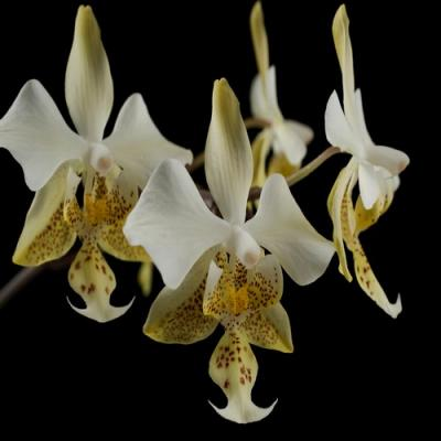 Orchidée Phalaenopsis stuartiana var. nobilis