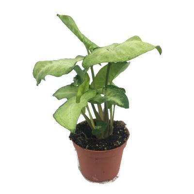 Syngonium mini plante a vendre
