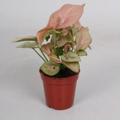 Syngonium 'Red Heart'