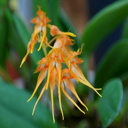 Orquídea Bulbophyllum taiwanese