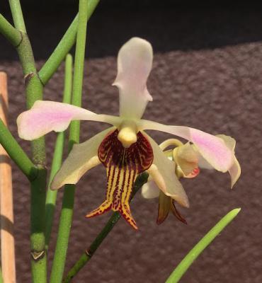 Orquídea Papilionanthe taiwaniana