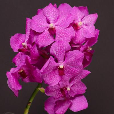 Orchidea Vanda Taweewan x Vanda Pkachong Blue