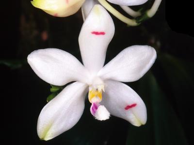 Orchidée Phalaenopsis tetraspis f. tetraspis