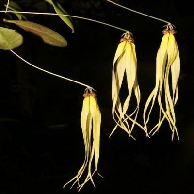 Orchid Bulbophyllum thiurum