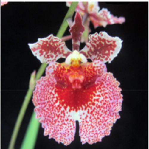 Orquídea Tolumnia Jairak Flyer spray