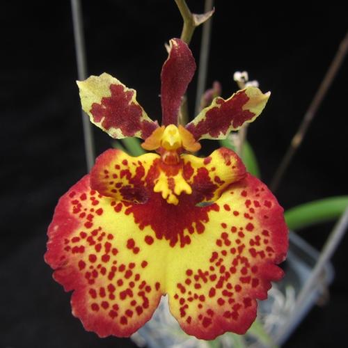 Orquídea Tolumnia Jairak Flyer Amaze