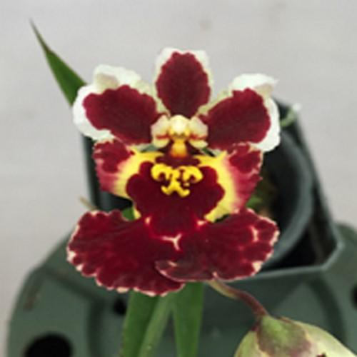 Orquídea Tolumnia jairak black Magic