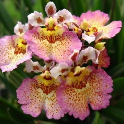 Orquídea Tolumnia Corona