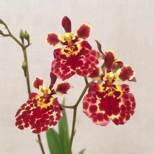 Orquídea Tolumnia Jairak Flyer Fantastic