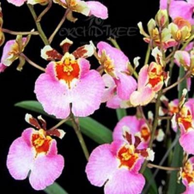 Orchidée Tolumnia jairak rainbow pink crystal