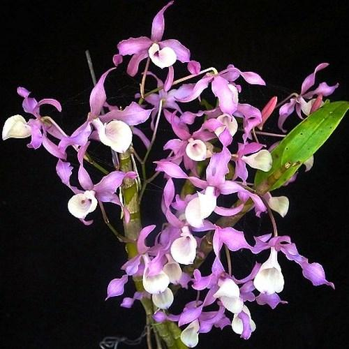 Orchidee Dendrobium tortile