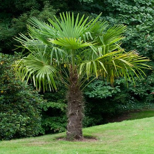 Trachycarpus fortunei palmier de chine a vendre