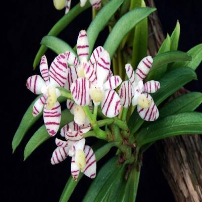 Orchidée Trichoglottis pusilla
