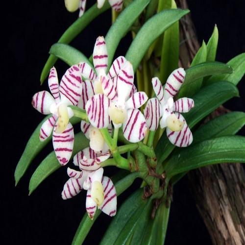Orchid Trichoglottis pusilla