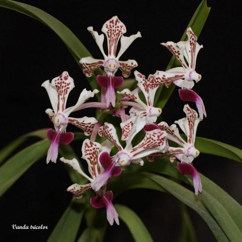 Orquídea Vanda tricolor