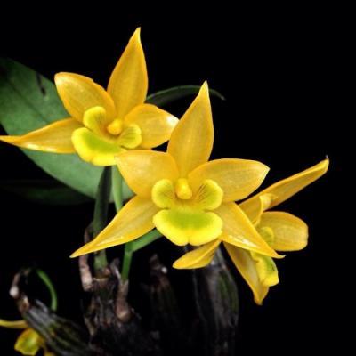 Orchidea Dendrobium trigonopus