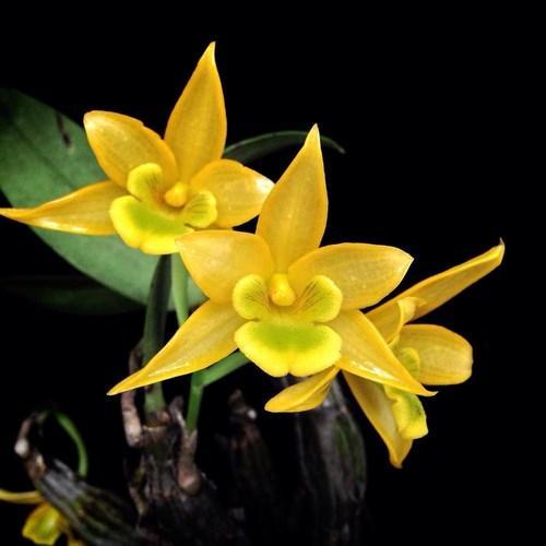Orhidee Dendrobium trigonopus