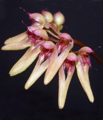 Orchidea Bulbophyllum Cirrhopetalum trisetum