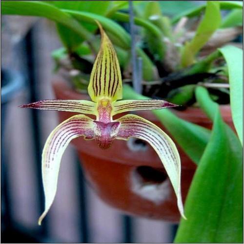 Orquídea Bulbophyllum tsiku pouter