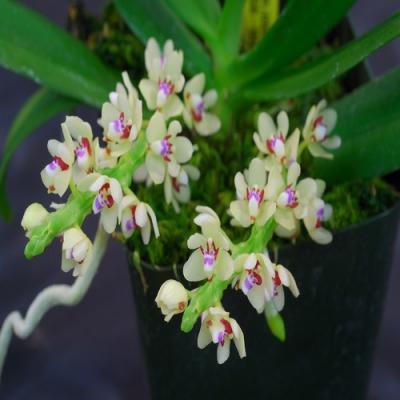 Orchidée Tuberolabium kotoense