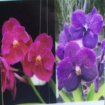 Orchidea Vanda Prayat Muang Rath x V Leenakamophan x Srakaew