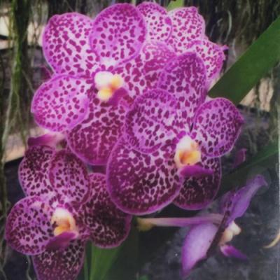 Orchidée Vanda Asc Kukwadee Frangrance Blue spot