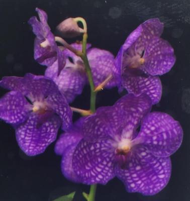 Orchidée Vanda Asc Leenakamophan x V Coerulea