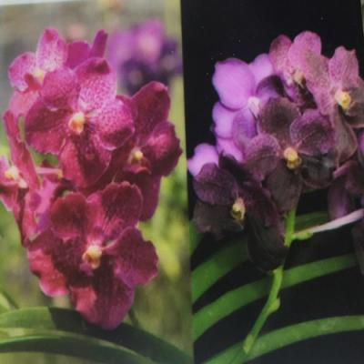 Orhidee Vanda Kultana Red X Vanda Black Magic - Doctor Ankek