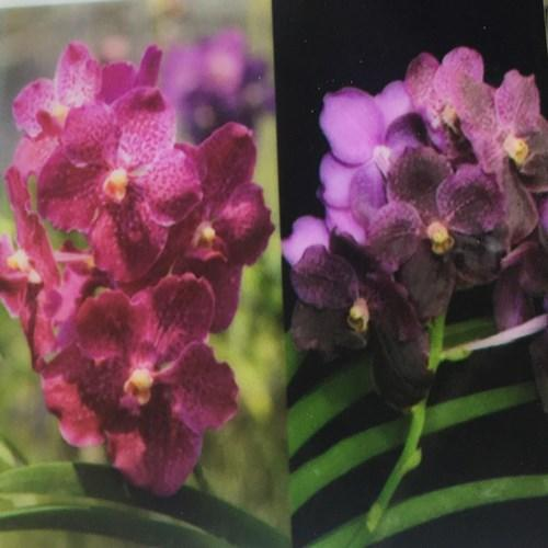 Orhidee Vanda Kultana Red X Vanda Black Magic - Doctor Ankek