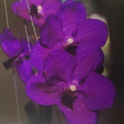 Orhidee Vanda Taweewan x Pakchong blue
