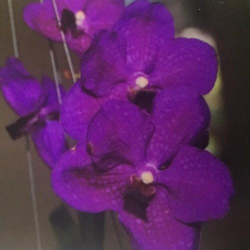 Orquídea Vanda Taweewan x Pakchong blue
