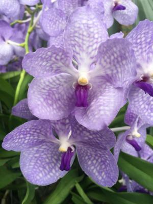 Orchidée Vanda Angelite